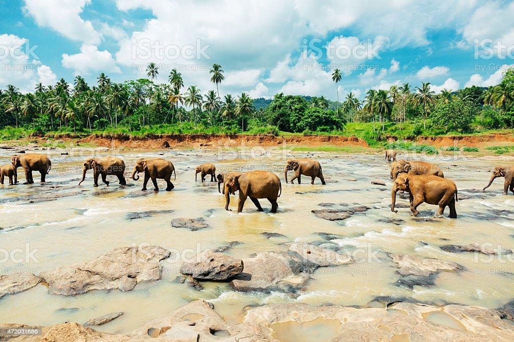Scenic shot of pin walk elephants at Sri Lanka orphanage stock photo