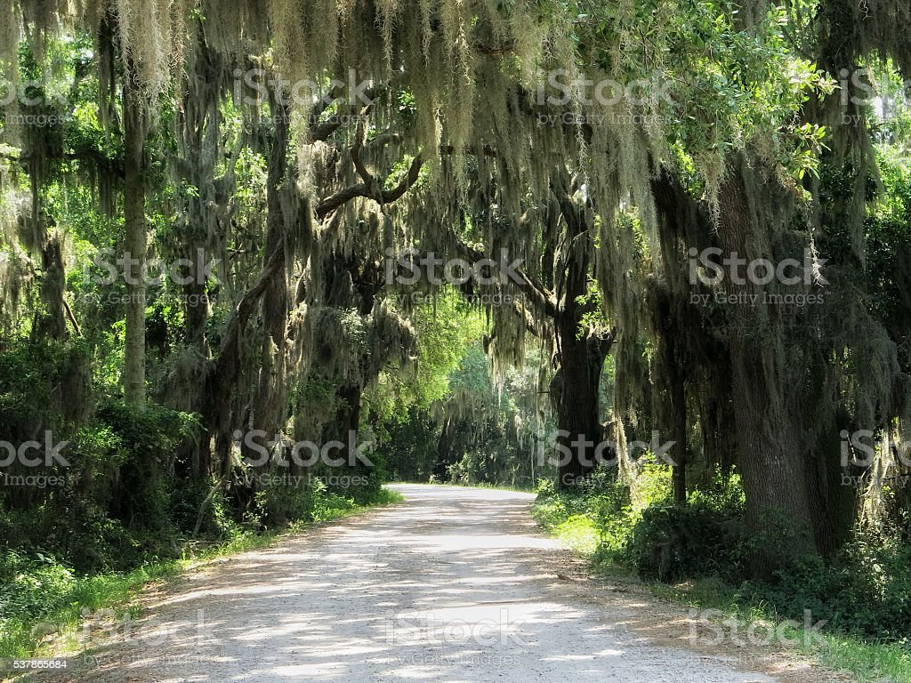Scenic Spanish Moss Hanging, Live Oak Trees, Overhanging Gravel Road stock photo