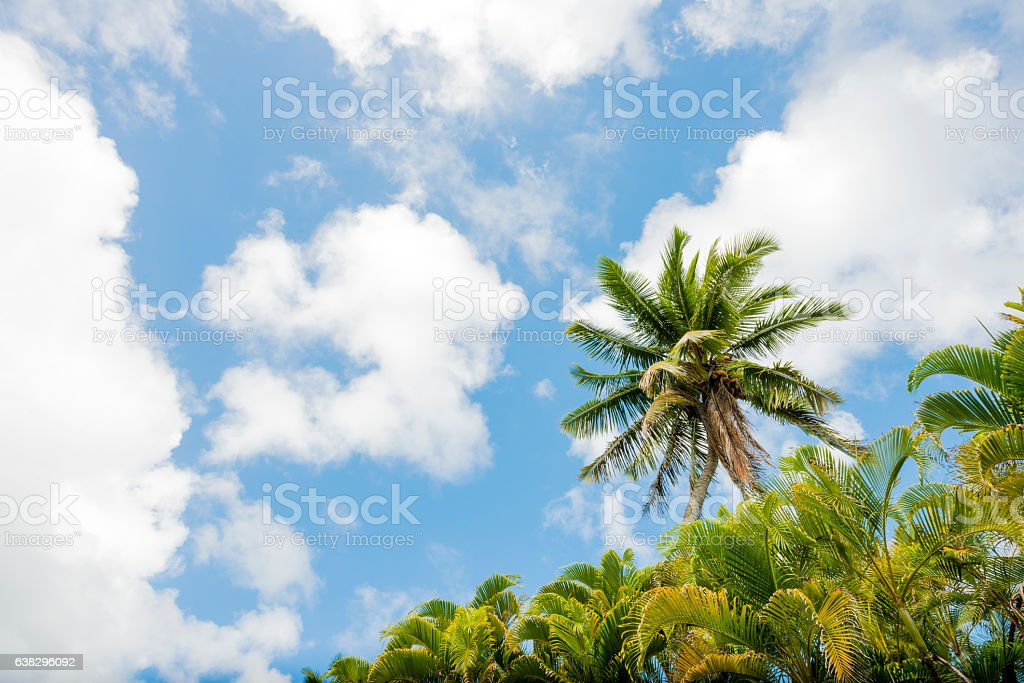 Scenic Tropical Palm Trees with Blue Sky and Clouds Hawaii stock photo