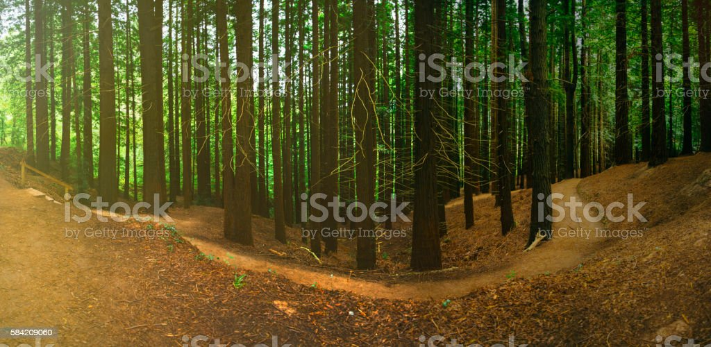 Scenic view of a redwood forest at sunset stock photo