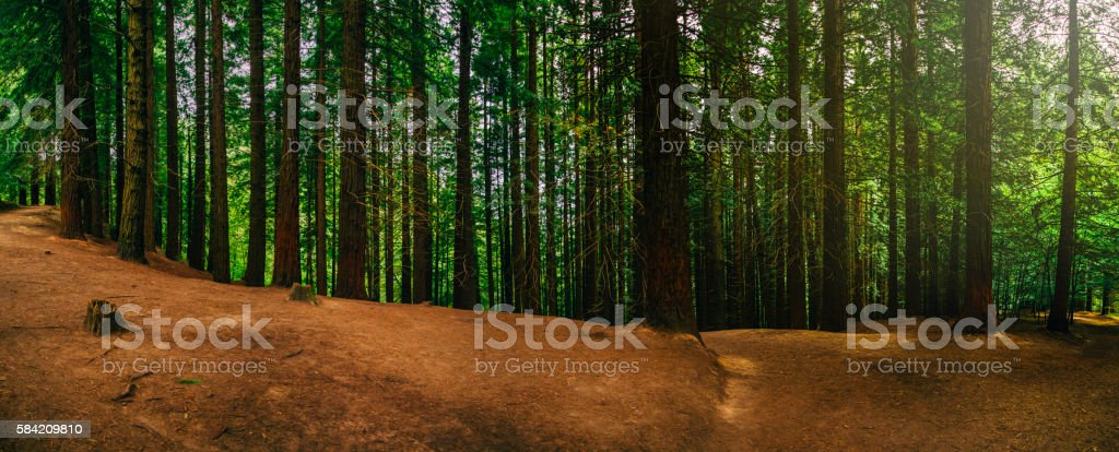 Scenic view of a redwood forest stock photo