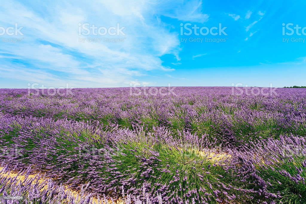 Scenic View of Blooming Bright Purple Lavender Flowers Field in stock photo
