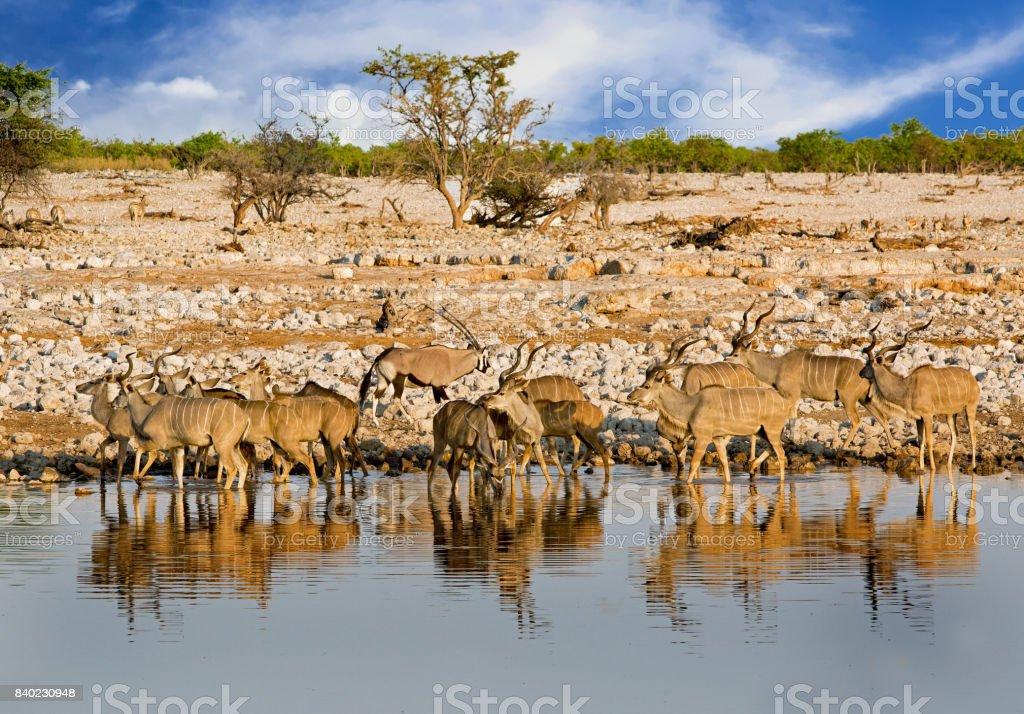 Scenic View of Okaukeujo waterhole with many animals taking a drink stock photo