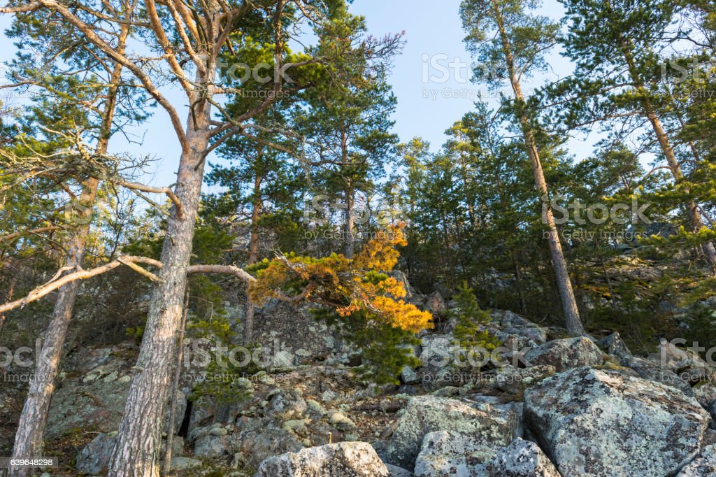 scenic view of pine trees on the cliffs at sunrise stock photo