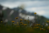 Scenic view with dandelions in spring