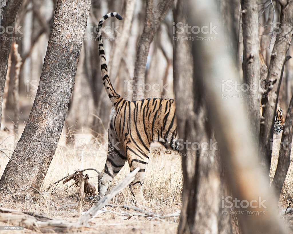 Scent marking spray - Tiger, Ranthambore, Rajasthan, India stock photo