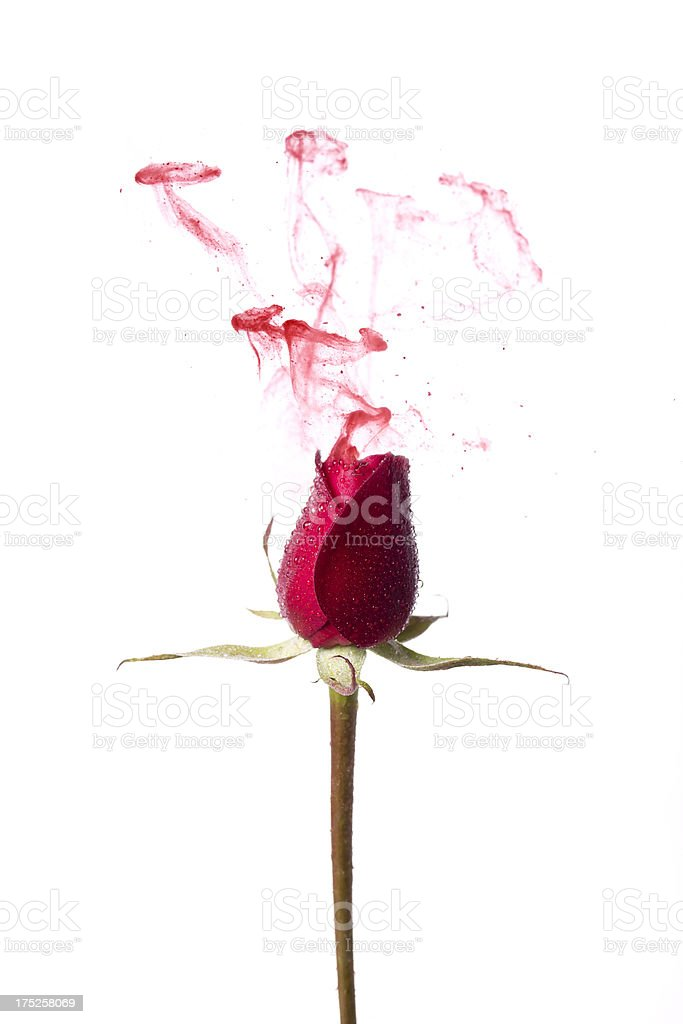 Scent of Rose royalty-free stock photo