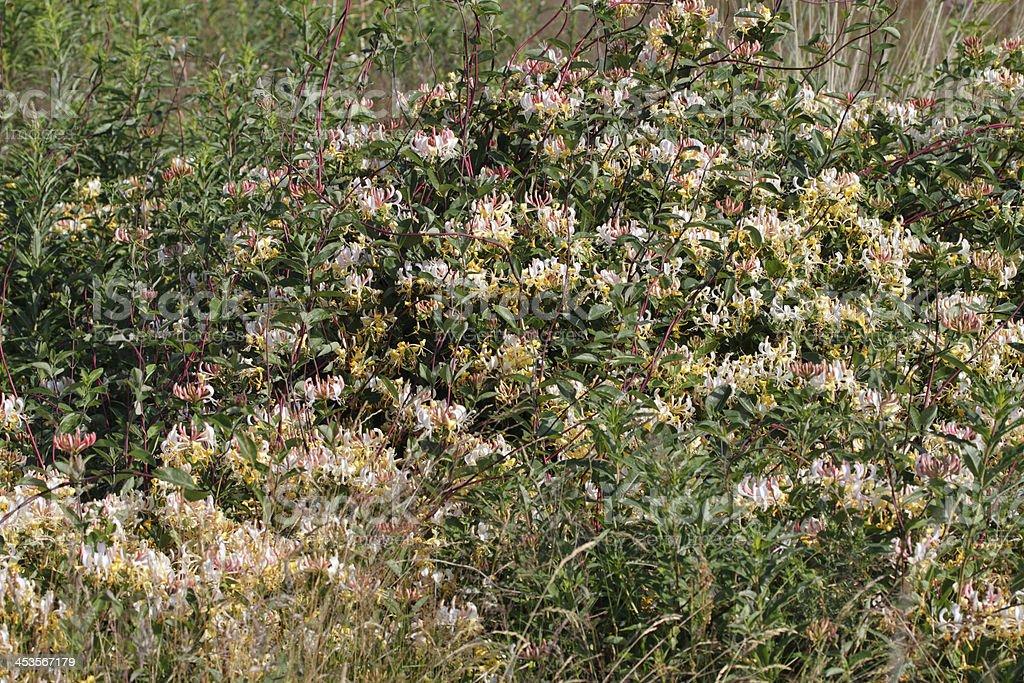 Scented flowers of wild honeysuckle Lonicera periclymenum royalty-free stock photo