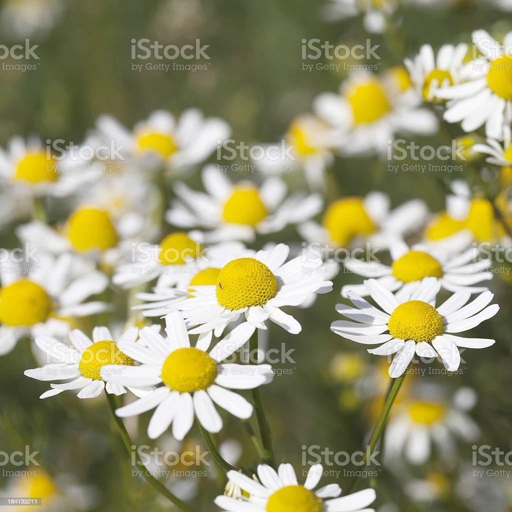 Scented Mayweed (Matricaria recutita) stock photo