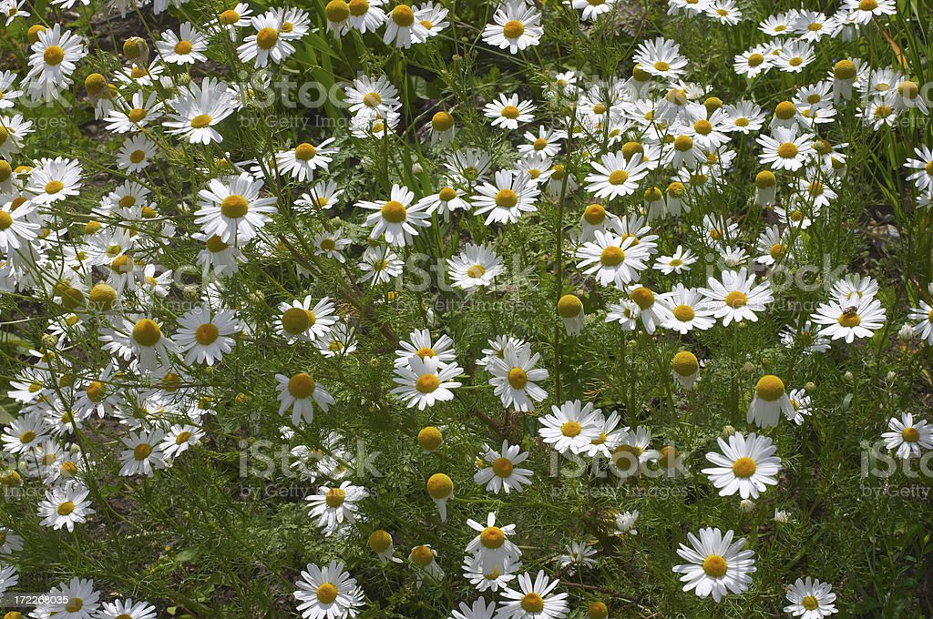 Scentless mayweed pretty white daisy flower royalty-free stock photo