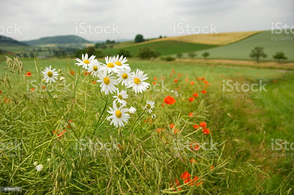 Scentless Mayweed royalty-free stock photo