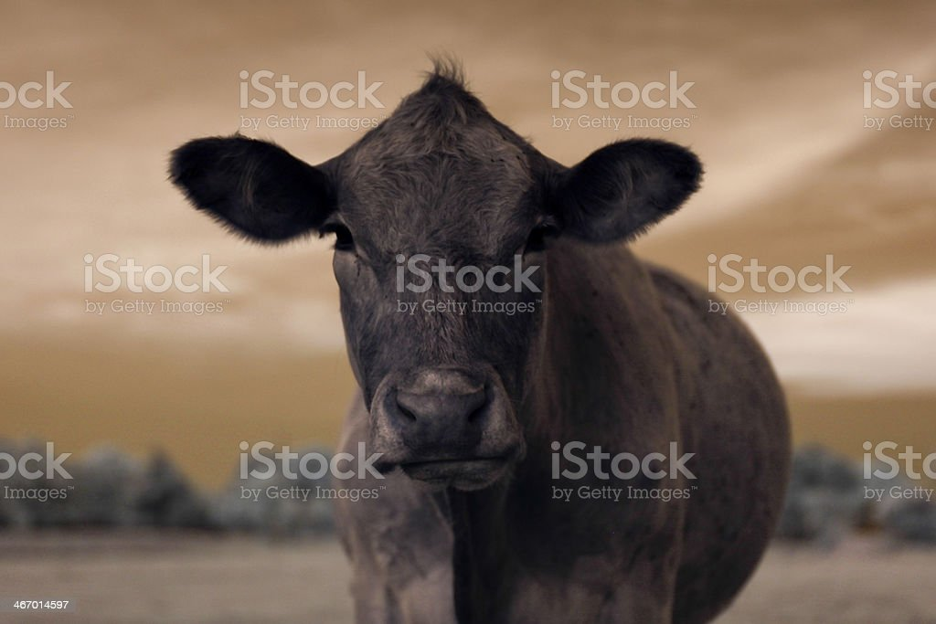 Sceptical cow frontal portrait stock photo