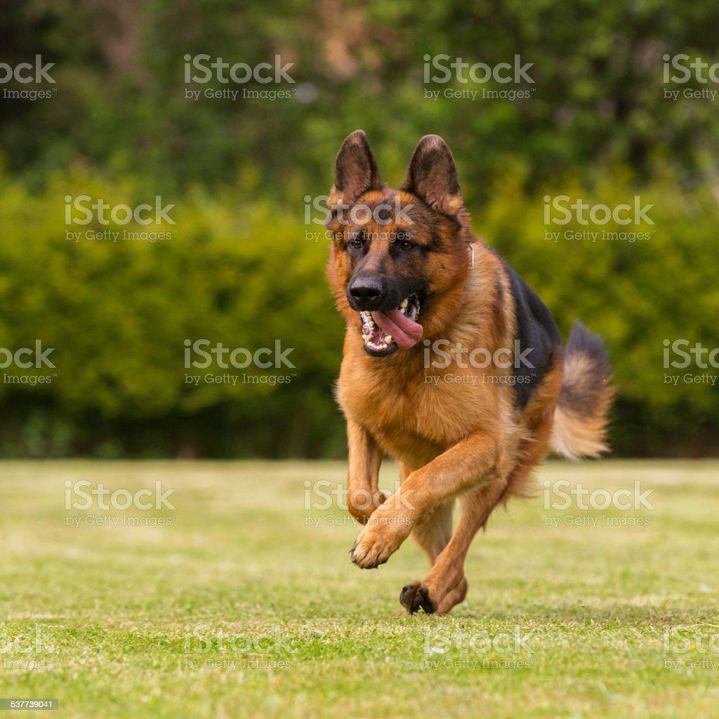Schaeferhund läuft Wiese stock photo