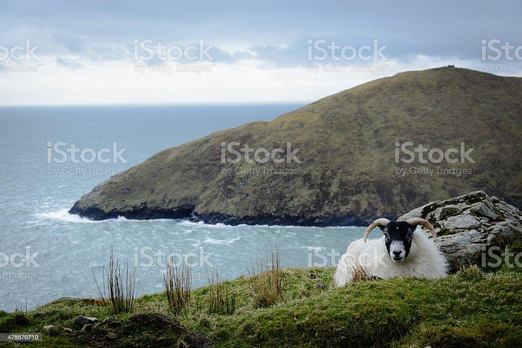 Schaf auf Achill Island stock photo