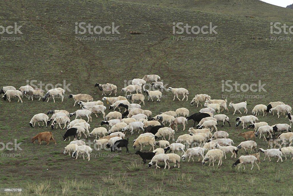 Schafe und Ziegen stock photo