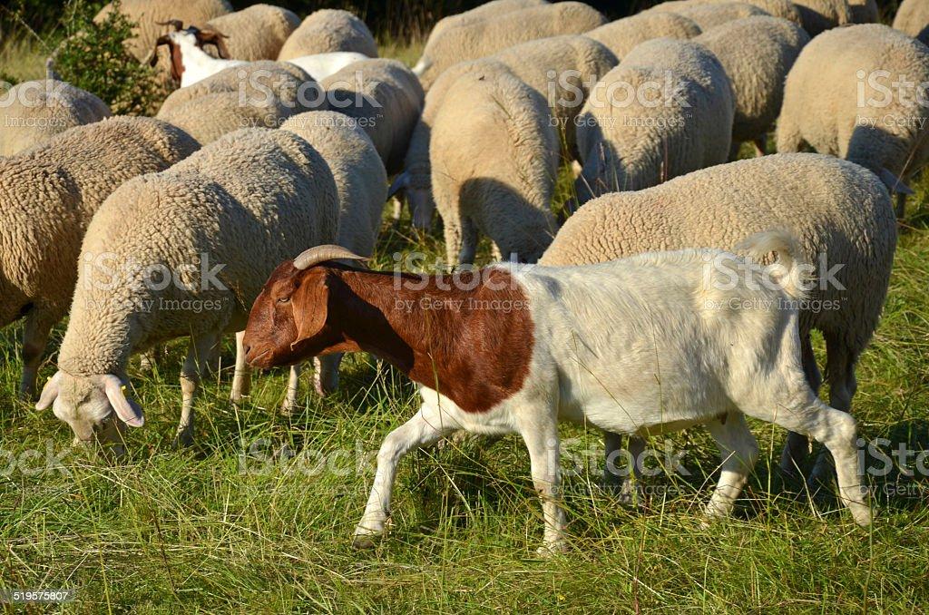Schafherde mit Ziegen stock photo