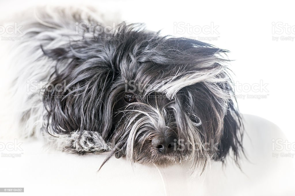 Schapendoes dog lying on pillow stock photo