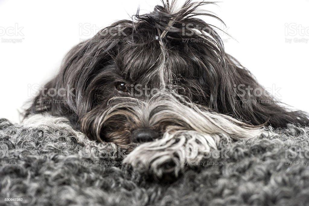 Schapendoes dog resting on fleece stock photo