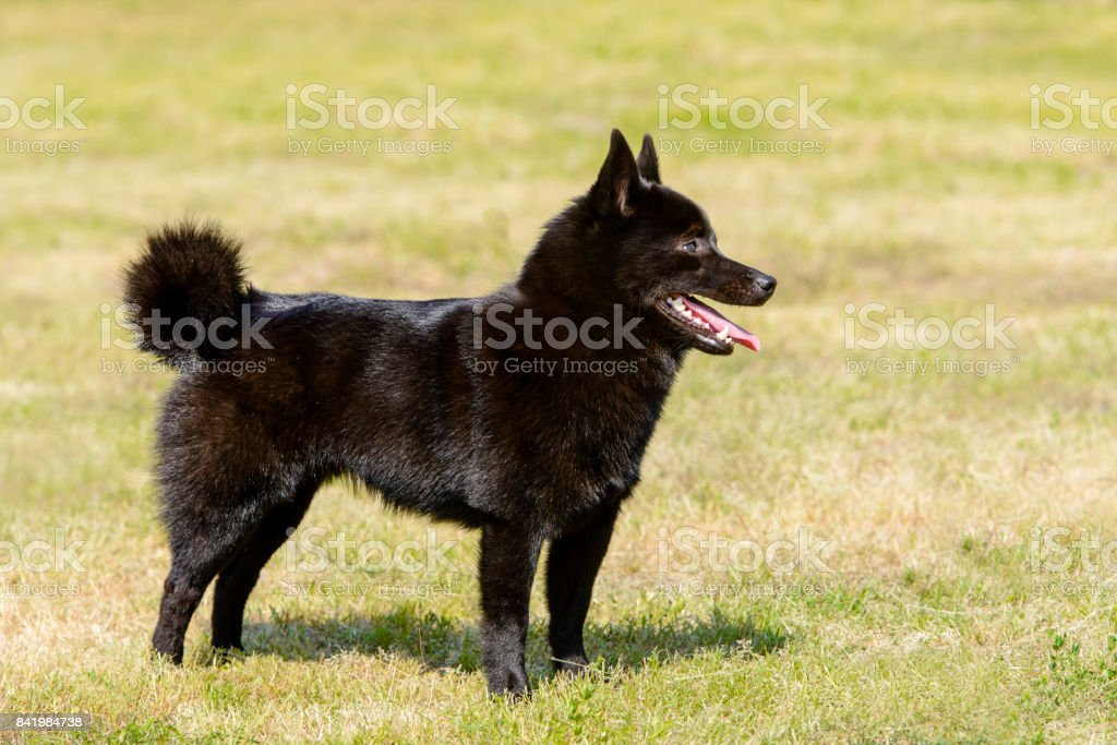 Schipperke looks ahead. stock photo