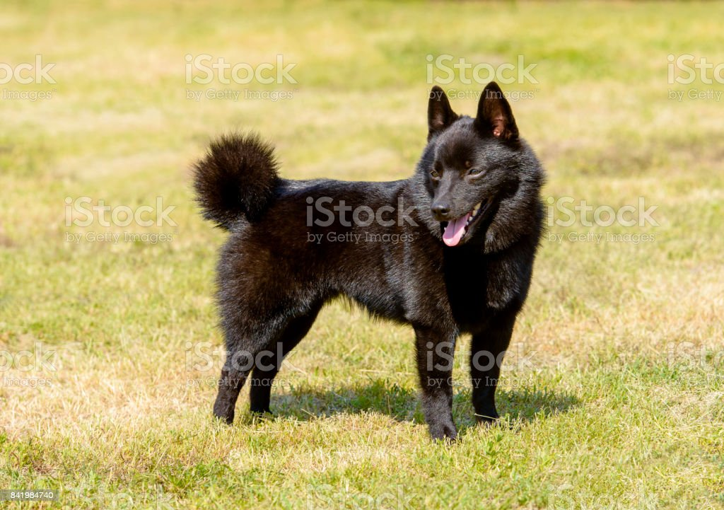 Schipperke looks aside stock photo