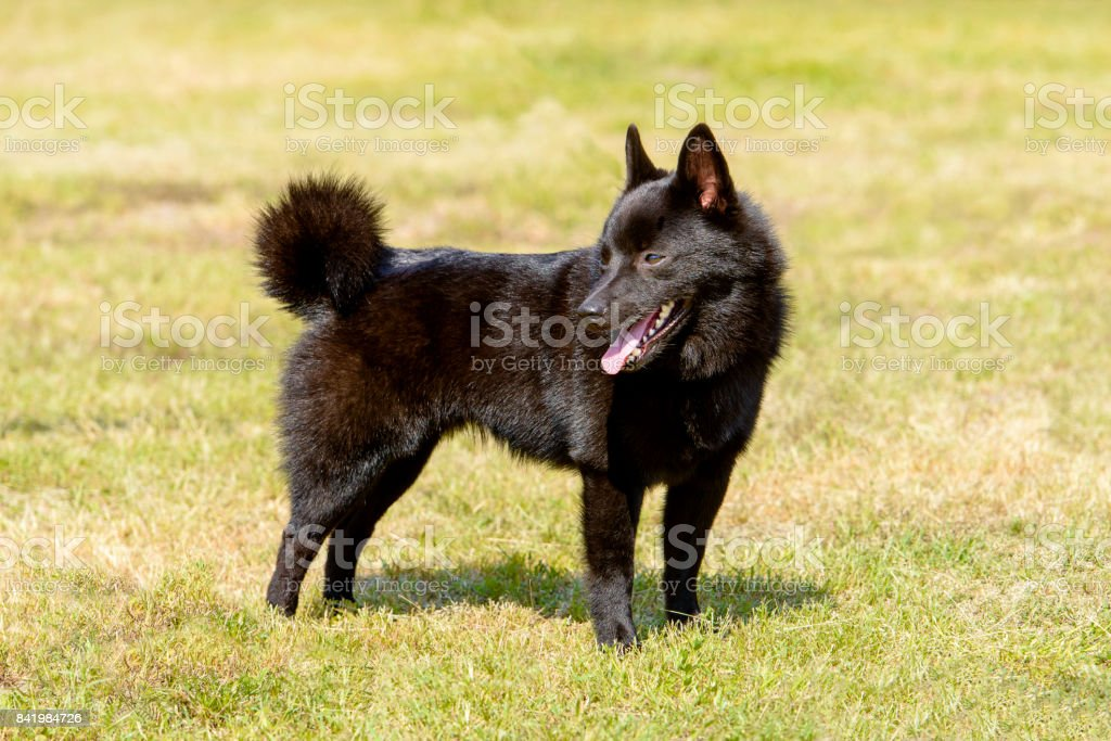 Schipperke looks back. stock photo