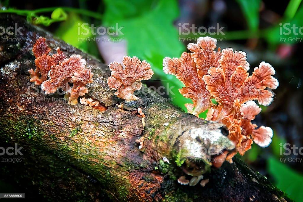 """Résultat de recherche d'images pour """"schizophyllum commune"""""""