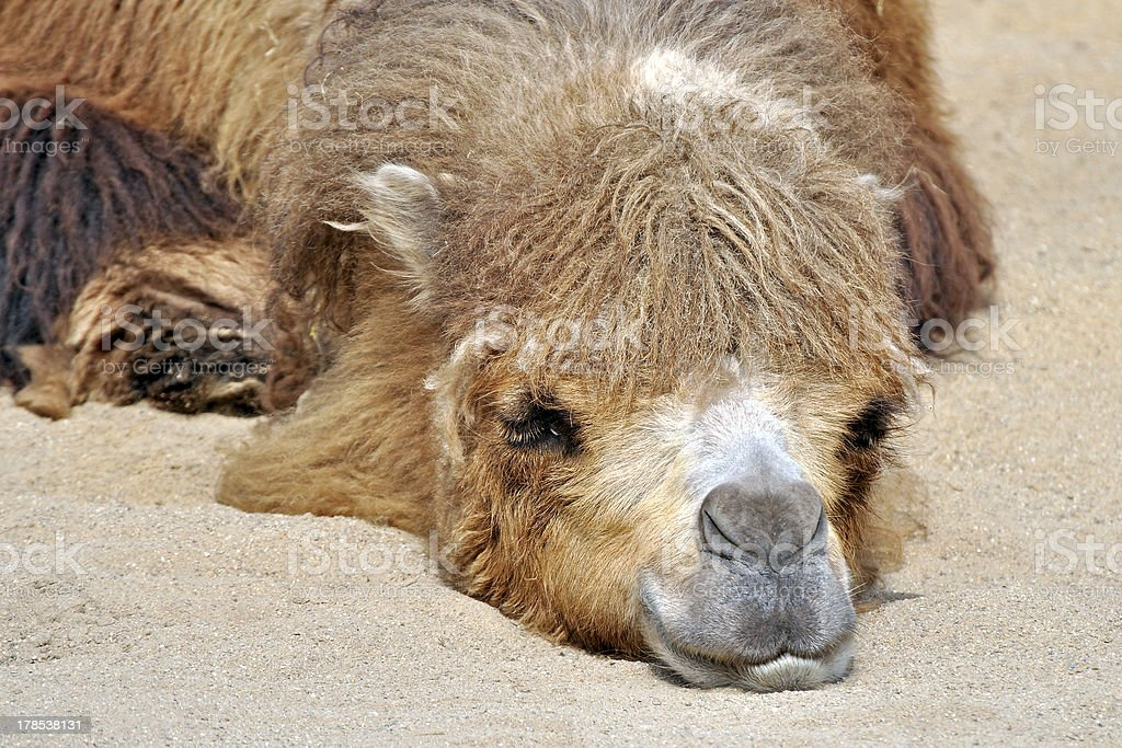 schlafendes Kamel im Wüstensand royalty-free stock photo