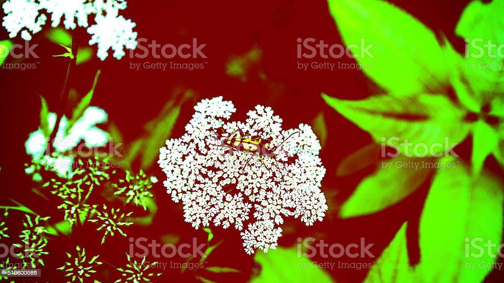 Schmalbock auf einem Doldenblütler stock photo