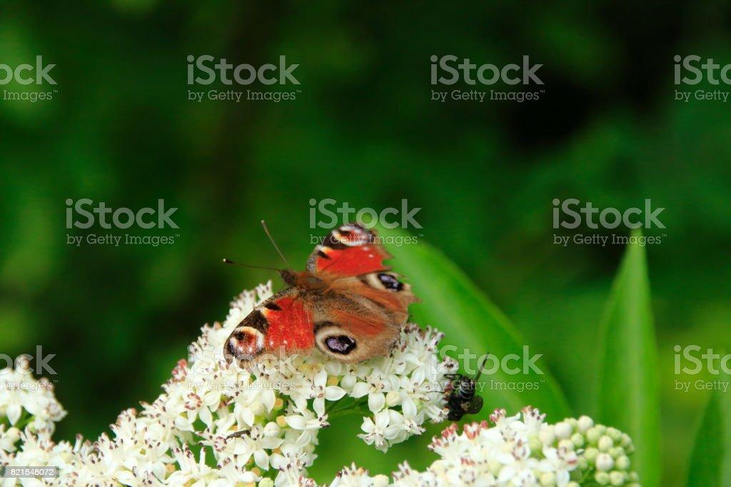 Schmetterling auf einer weißen Blüte stock photo