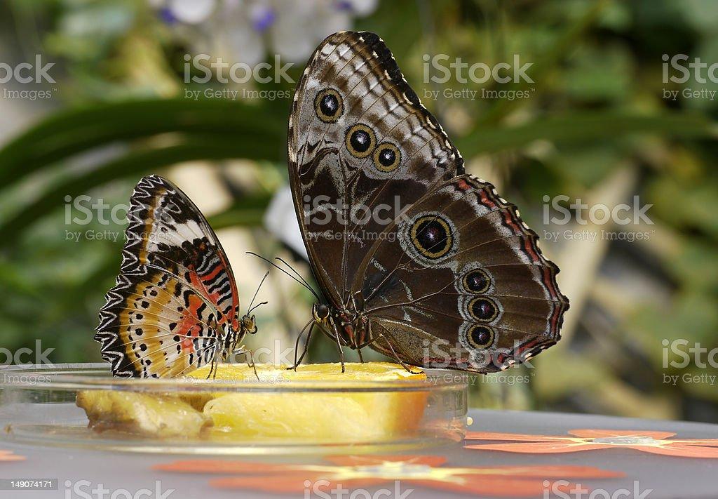 Schmetterlingsbuffet stock photo