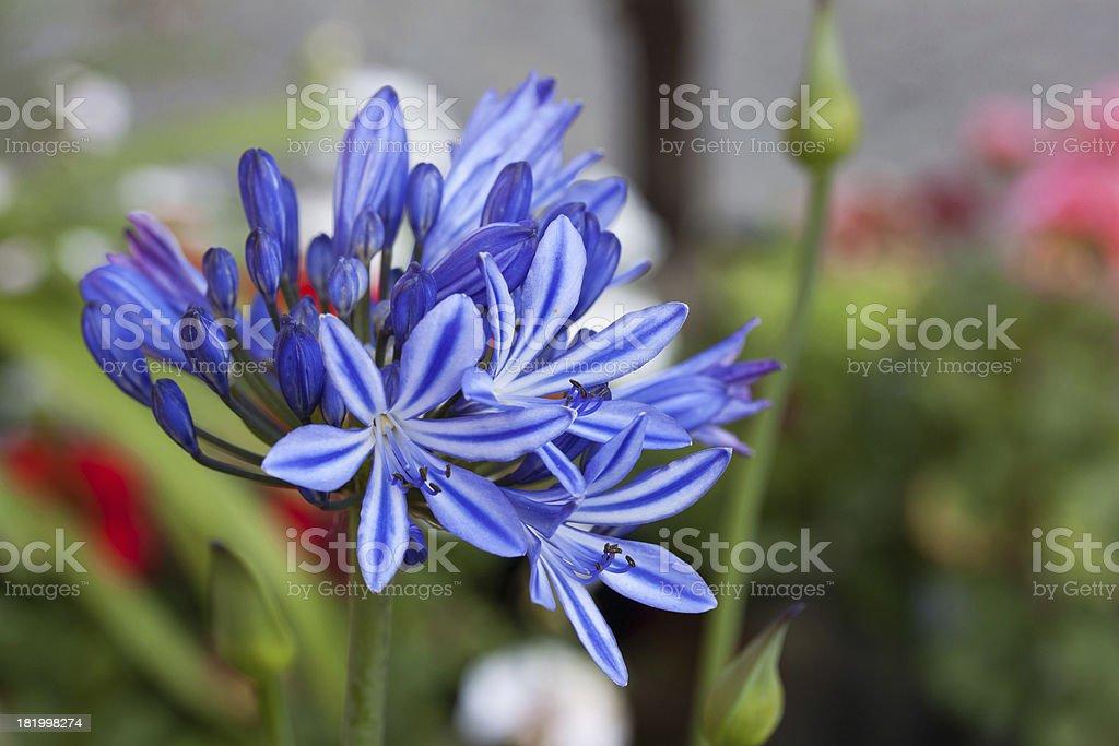 schmucklilie stock photo