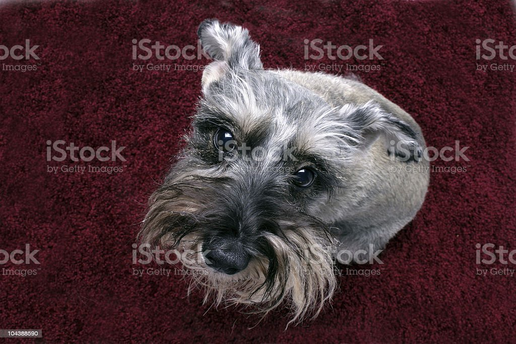 schnauzer 01 stock photo