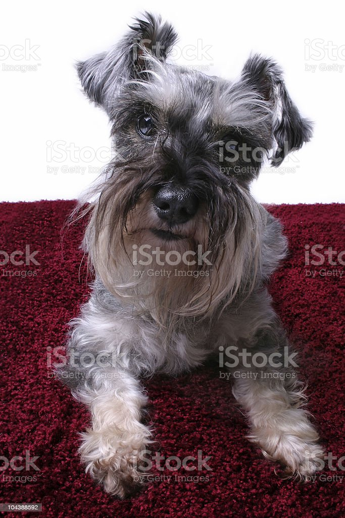 schnauzer 2 stock photo
