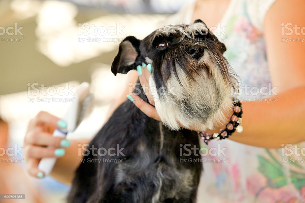 Schnauzer at the hairdresser stock photo
