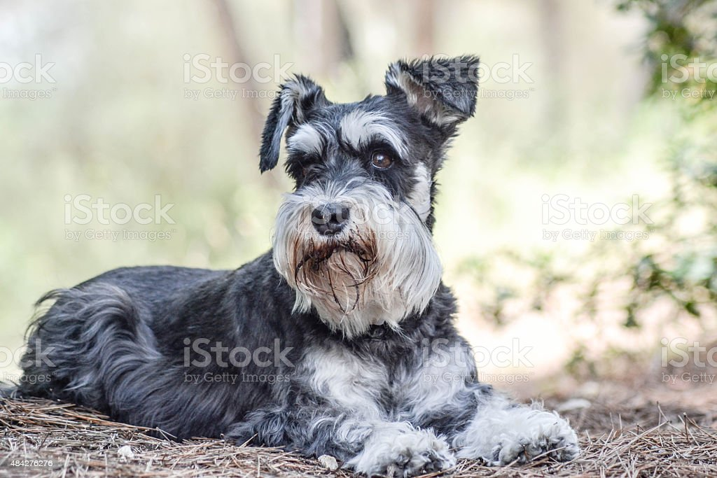 Schnauzer in Forest stock photo