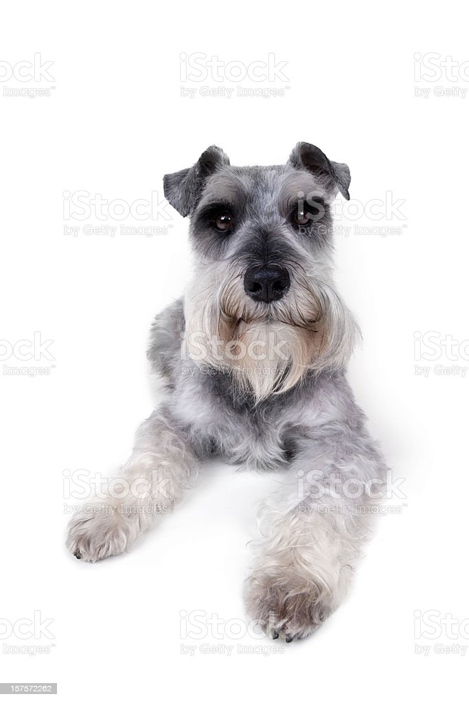 Schnauzer lying down stock photo