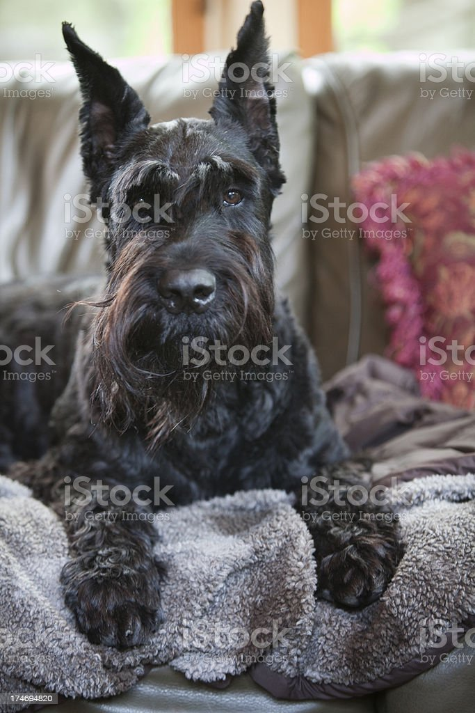 Schnauzer on couch. stock photo