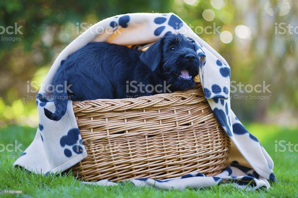 schnauzer puppy in a basket stock photo