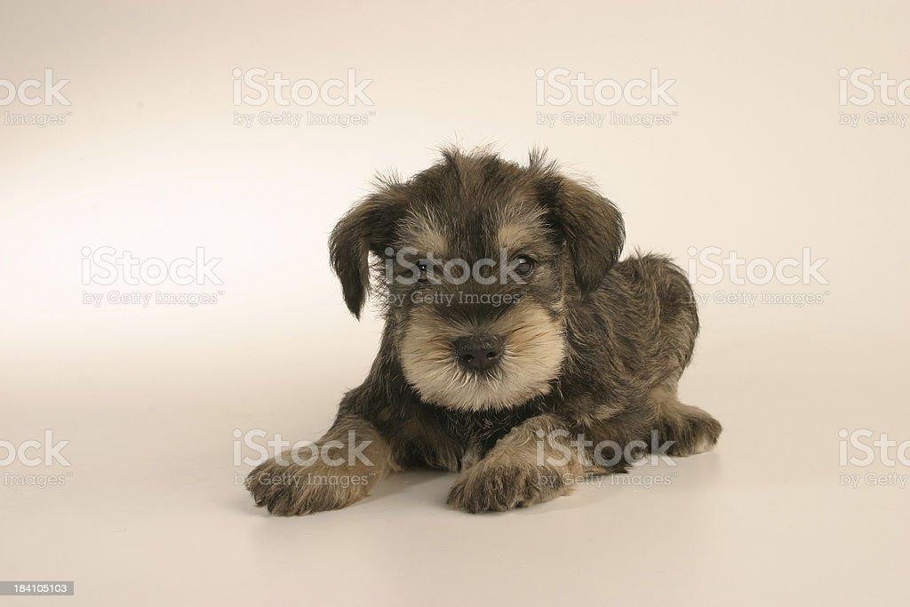Schnauzer puppy royalty-free stock photo