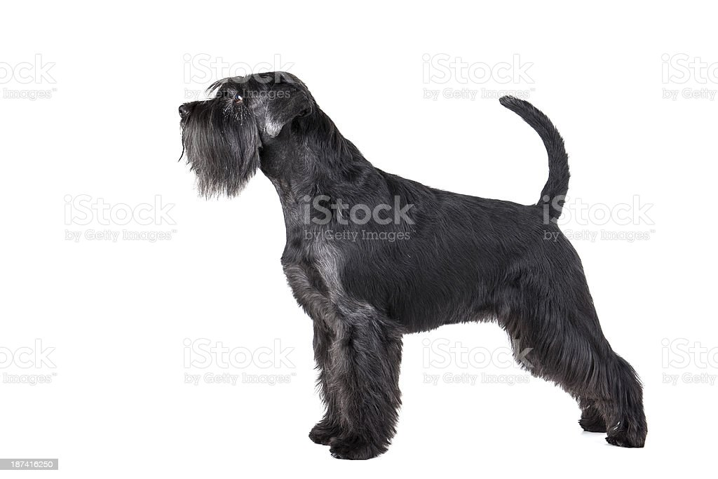 Schnauzer standing stock photo