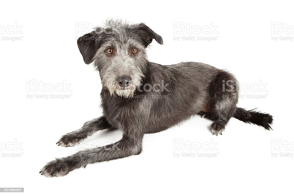 Schnauzer Terrier Mutt Dog Laying stock photo