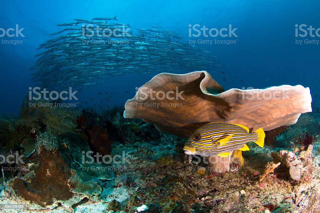 School of Barracuda Above a Coral Reef stock photo