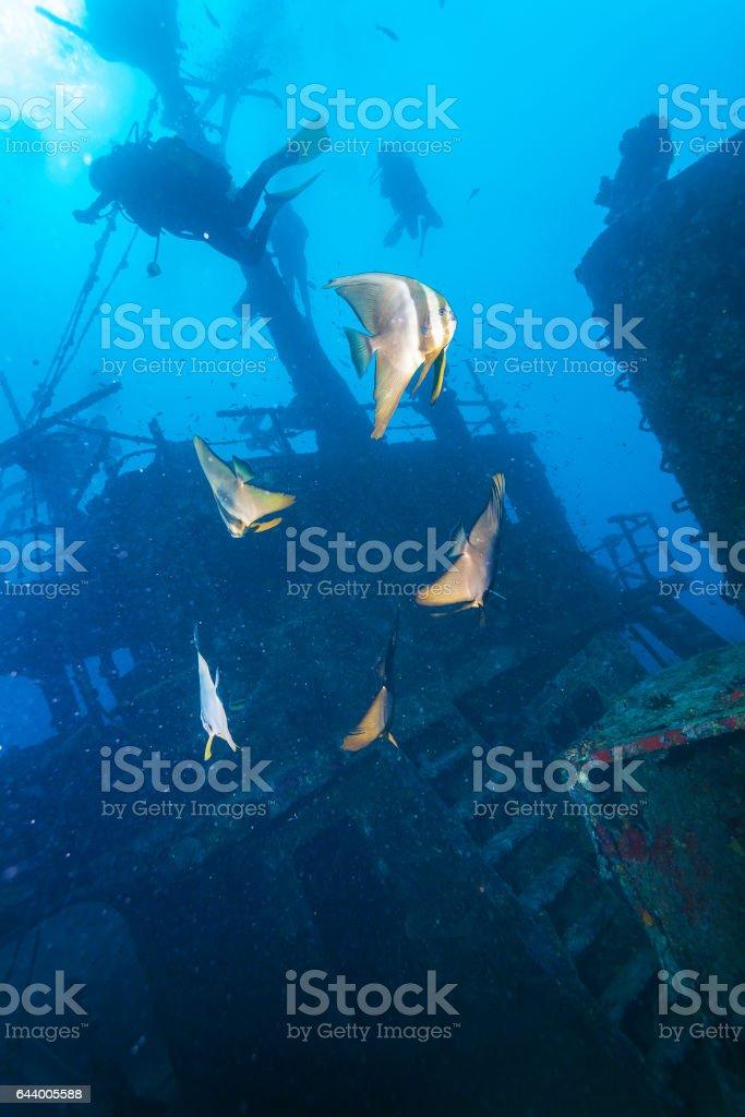School of batfish near a sunken ship in the Maldives stock photo