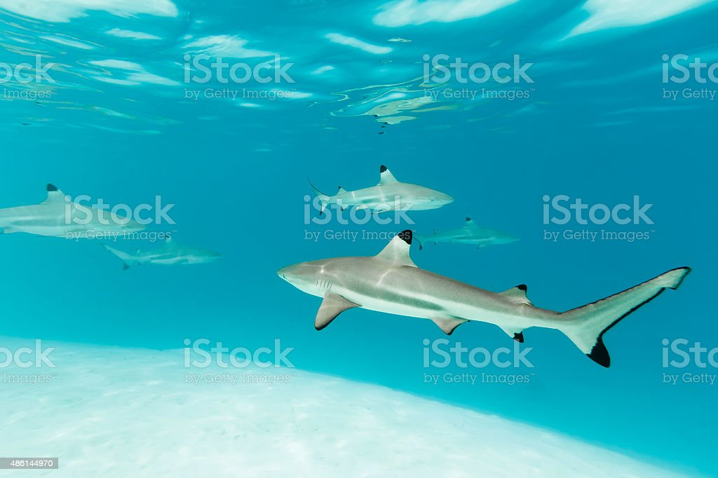 School of Blacktip Reef Sharks in Clear Blue Water stock photo
