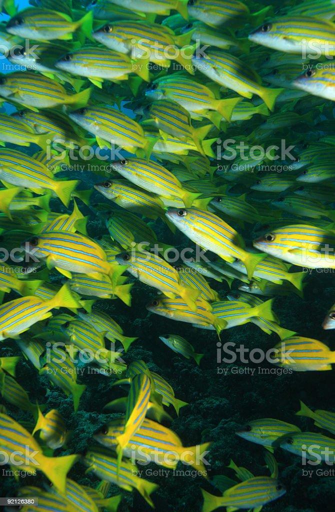 School of Blue striped Snapper (Lutjanus kasmira) stock photo