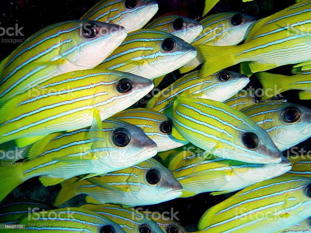 School of blue-line Snapper (Lutjanus Kasmira) in the Maldives stock photo