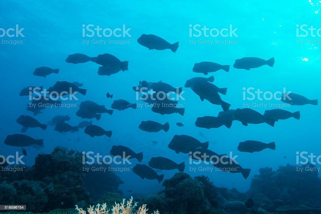 School of bumphead parrotfish in Palau, Micronesia stock photo