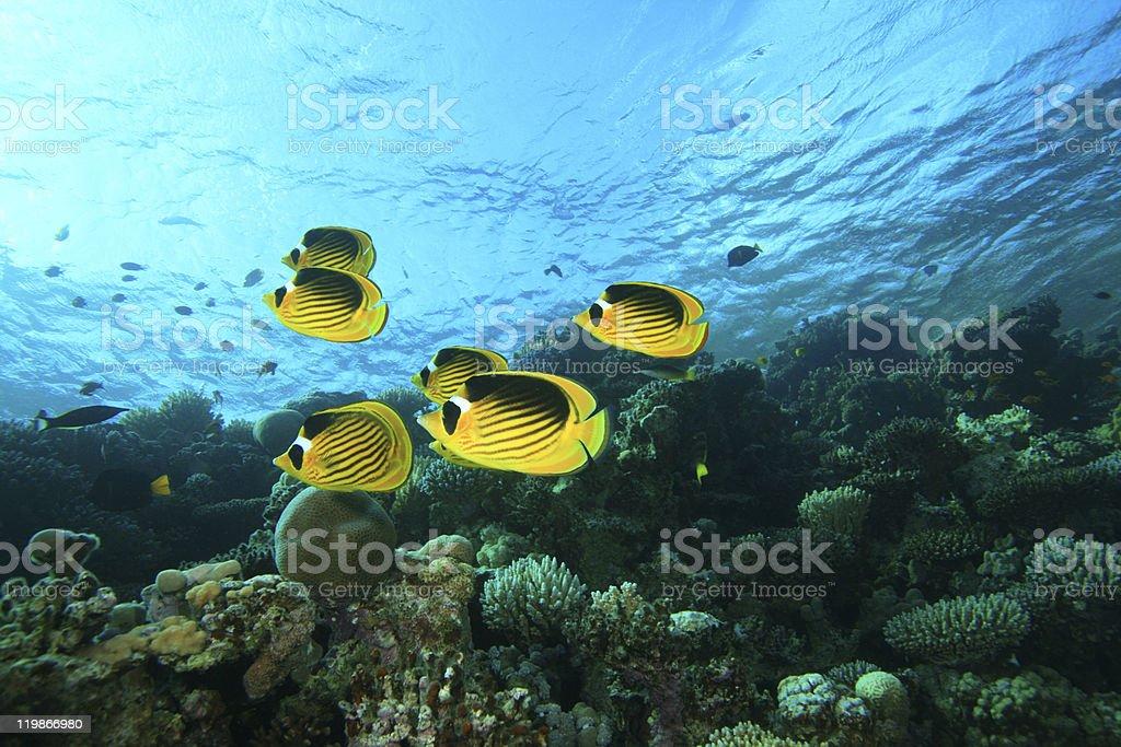 School of Butterflyfish stock photo