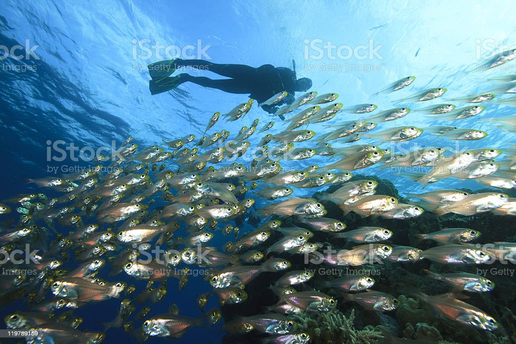 School of Fish and Scuba Diver stock photo