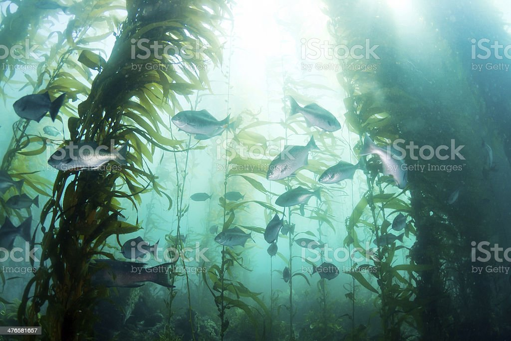 School of fish in the Kelp Forest stock photo